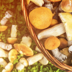 Basket of porcini and brown cap boletus mushrooms on green grass