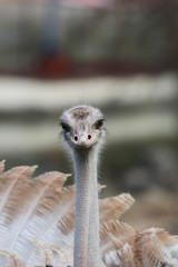 Female Ostrich is watching you