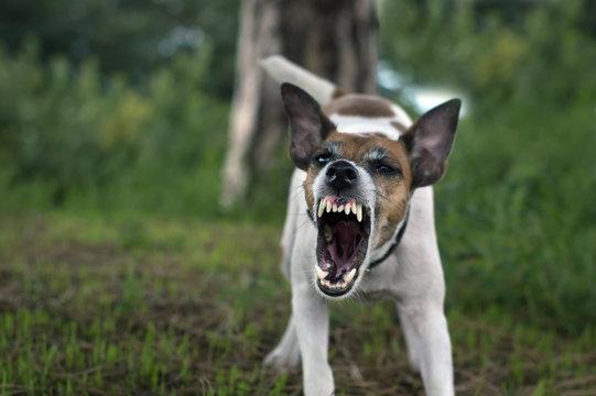 A pedigree fox terrier dog grins his teeth, an angry dog