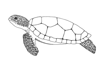 Sketch sea turtle isolated on white background. Vector illustration