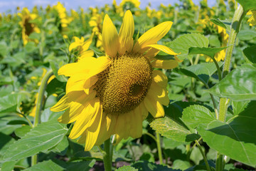 A close view of a ripe sunflower with large green leaves on a field for growing sunflowers on a summer or autumn sunny day with a blue sky and white clouds in the background