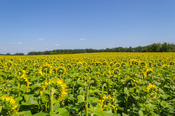 A large number of ripened sunflowers which are turned backwards with bright yellow petals and large green leaves on a field for growing agricultural plants and a blue sky on a clear autumn day