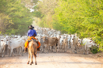 a herd of cattle driven by a Gaucho