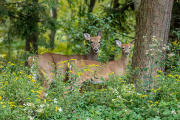 Mother and child white-tailed deer