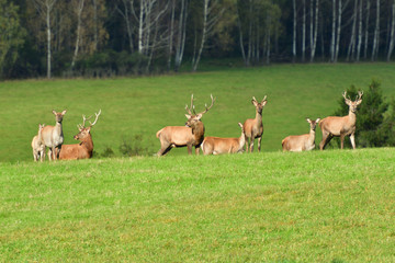 Wildlife Deer defends and keep watching herd of deerskin during the rut on the meadow
