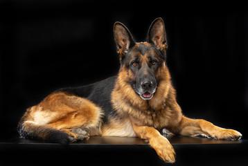 German Shepherd Dog  Isolated  on Black Background in studio
