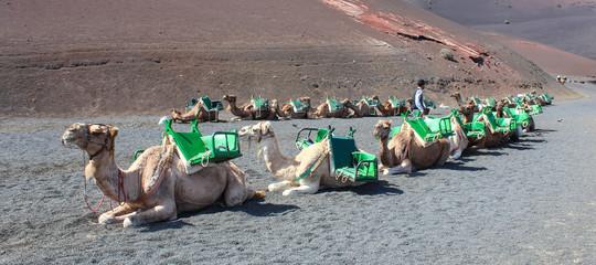 Camels - Timanfaya National Park - Lanzarote / Canarias /Spain