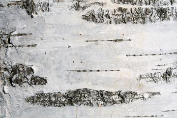 Black and white bark of European white birch or Betula pendula