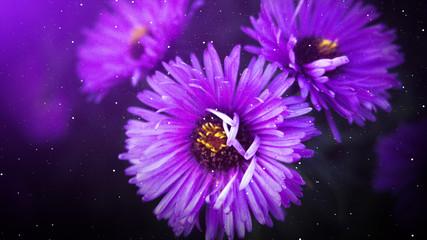 Violet flowers, autumn floral background, sunlight.