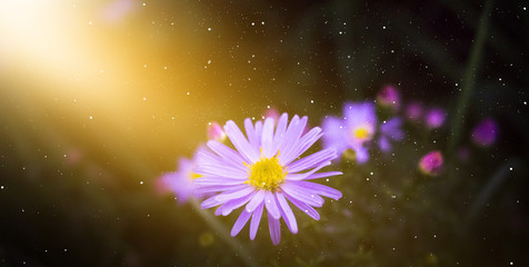 Violet flowers, autumn floral background, sunlight.