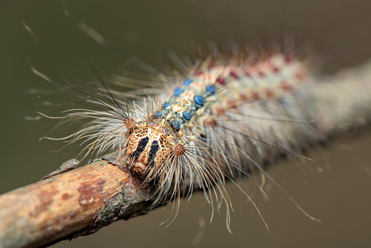 The gypsy moth ( Lymantria dispar ) - family Erebidae - hairy, colorful caterpillar - macro - closeup
