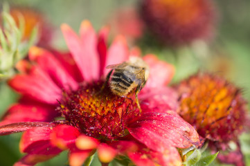Obraz Pszczoła na czerwonm kwiatku - fototapety do salonu