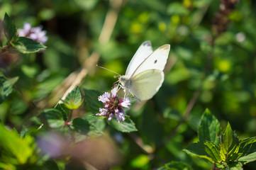 motyl na mięcie