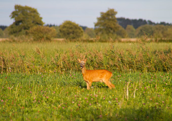 Roe deer buck, Capreolus capreolus, also known as Chevreuil, in a meadow