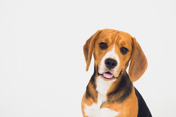 beautiful beagle dog isolated on white. young puppy
