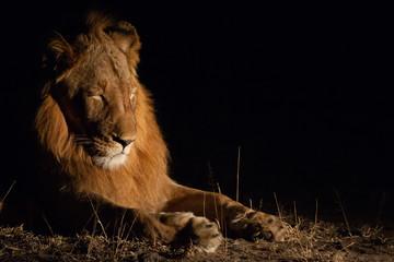 Lion sleeping at night