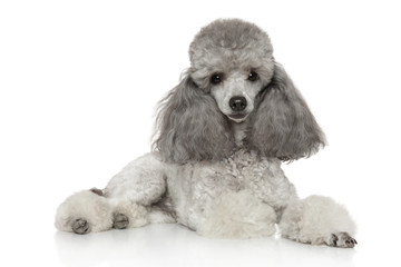 Wall Mural - Miniature poodle on white