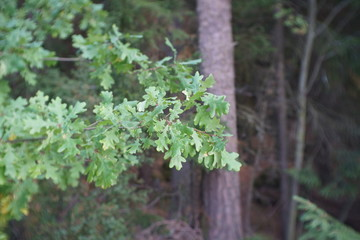 Young oak in the forest