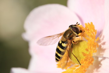 Howerfly drinking nectar
