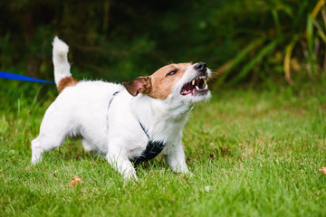 Foto op Plexiglas Hond Angry dog aggressively barking and defending his territory