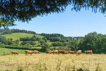 French cows in landscape France