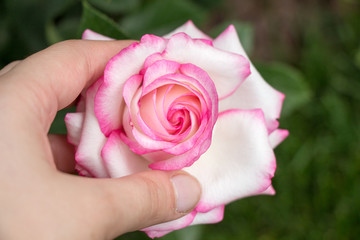 Beautiful colorful Rose Flower in hand