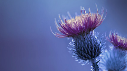 Floral blue-purple background.  Purple  thorny thistle flower. A purple-yellow flower on a blue background. Closeup.  Nature.