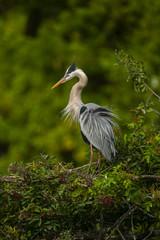 Great Blue Heron, Florida (Ardeas herodias)