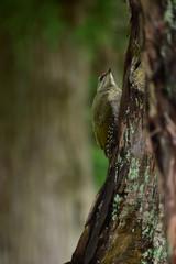 暗い森のヤマゲラの幼鳥