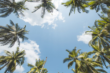 Coconut or Palm Tree and Cloudy Blue Sky