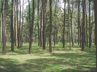 Beautiful summer forest of spruce tree