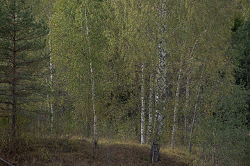 the natural background - Russian rural landscape, birches