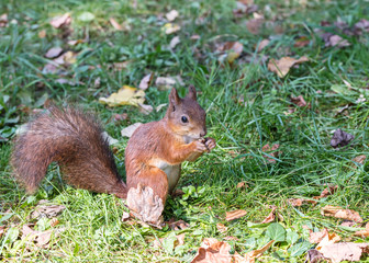 red squirrel with fluffy tail eats nut on green grass with fallen leaves