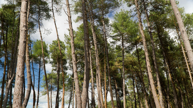 Beautiful Kaingaroa forest with high pine trees, the largest plantation in the southern hemisphere, New Zealand