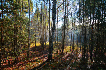Autumn forest in the sunshine in the early morning.