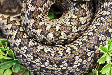 detail of meadow viper pattern