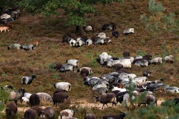Heidschnucken und Ziegen in der Fischbeker Heide