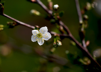 Fresh white cherry flowers on a blurred green garden background. Blossoming cherry close-up.