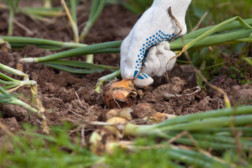 hand pulls out a ripe bulb of onion