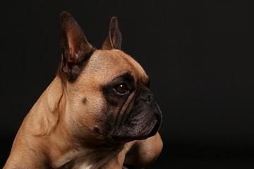 beautiful french bulldog head portrait in the black studio