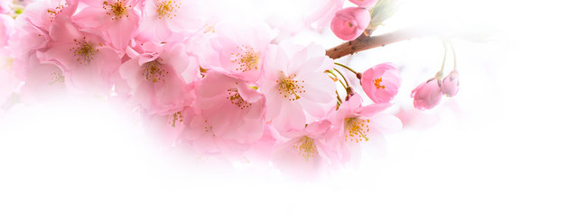 holiday banner background with spring pink cherry blossom, sakura flowers branch