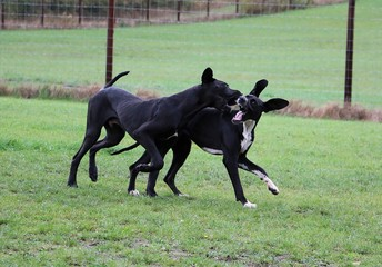 Obraz two funny black great danes are playing together in the garden - fototapety do salonu
