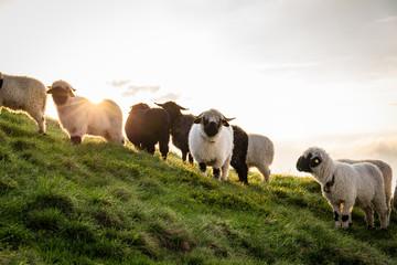 Schwarze und weiße Schafe am Berg beim Sonnenaufgang