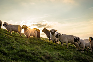 Eine Herde Schafe beim Sonnenaufgang am Berg
