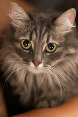 Portrait of a beautiful grey green-eyed cat