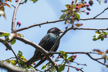 Common starling on a pink apple tree blossom branch