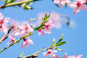 Spring background art with pink peach blossoms