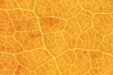 macro texture of leaves / yellow autumn leaf, enlarged macro texture, autumn background concept
