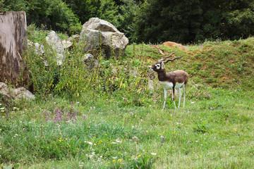 Antilope cervicapre in nature