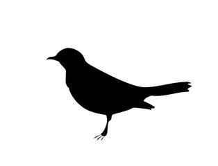 Blackbird black silhouette on white background, vector eps 10